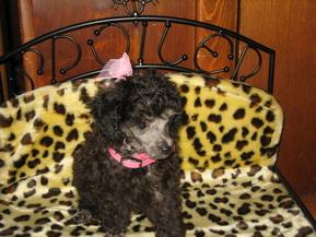 Princess Petite Poodles - Kokomo, Indiana - Princess Petite Poodles